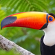 Toco toucan images
