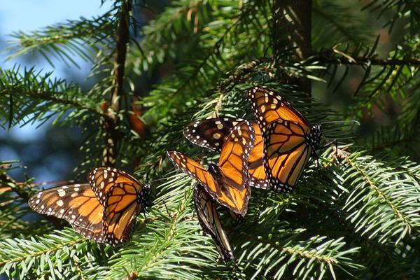 Mariposa monarca en mexico